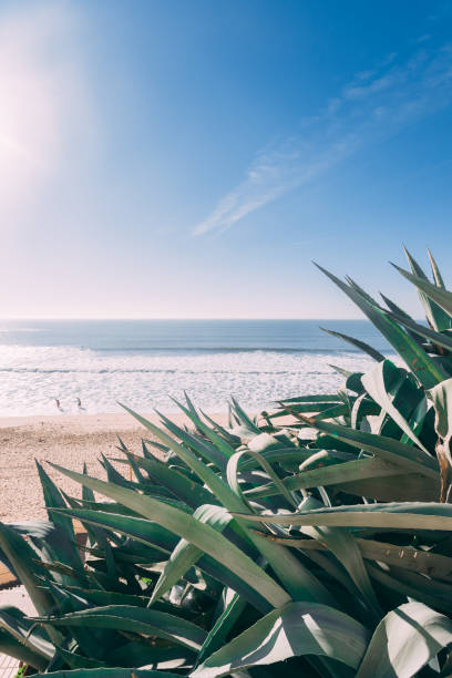 Aloe Vera growing at the beach Aloe Vera Plant at a beach in Spain wasser photos stock pictures, royalty-free photos & images