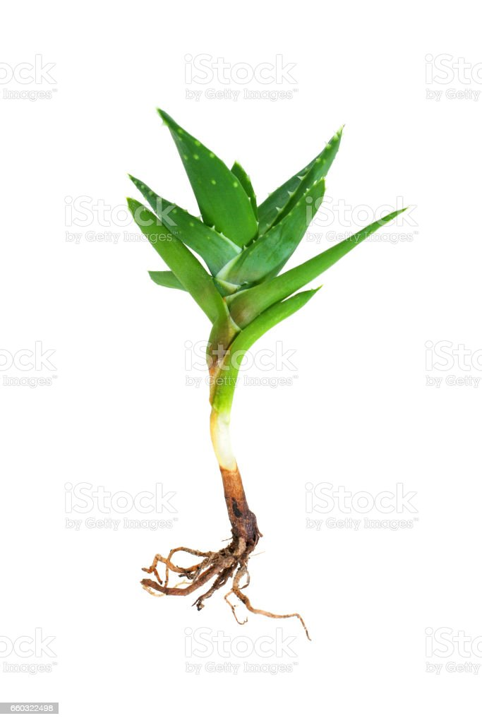 Aloe vera isolated on white background stock photo