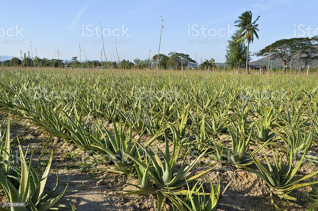 L'Aloe vera - Photo