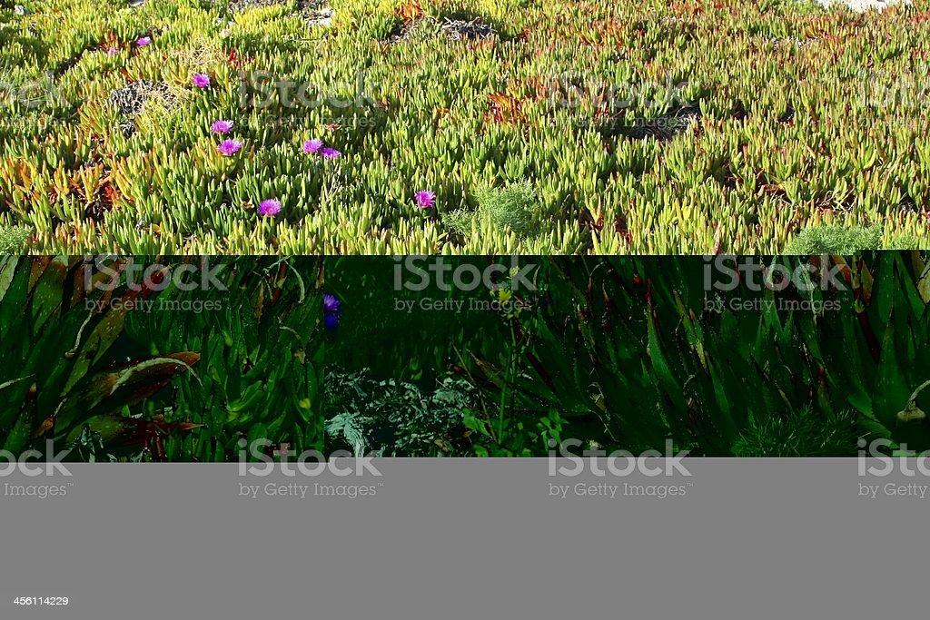 Aloe vera royalty-free stock photo