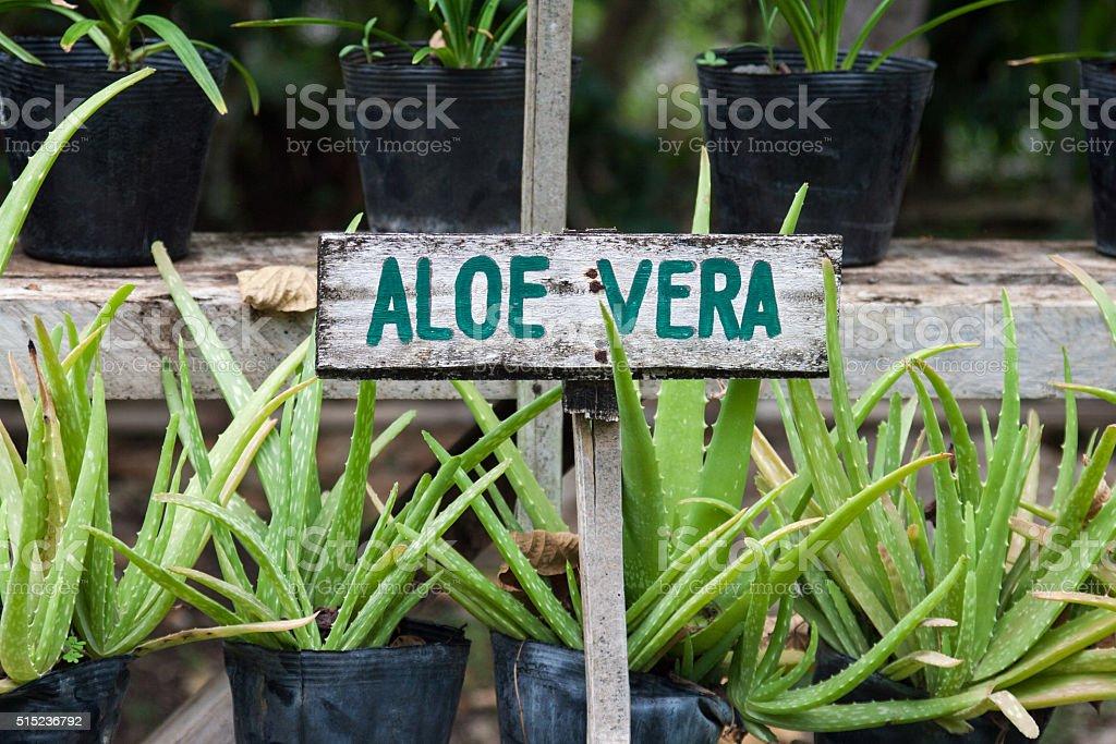 Aloe vera stock photo