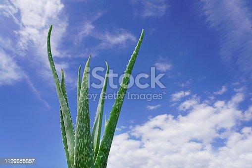 istock Aloe vera plant and blue sky. 1129655657