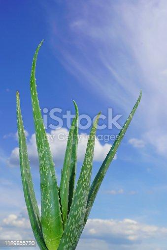 istock Aloe vera plant and blue sky. 1129655720
