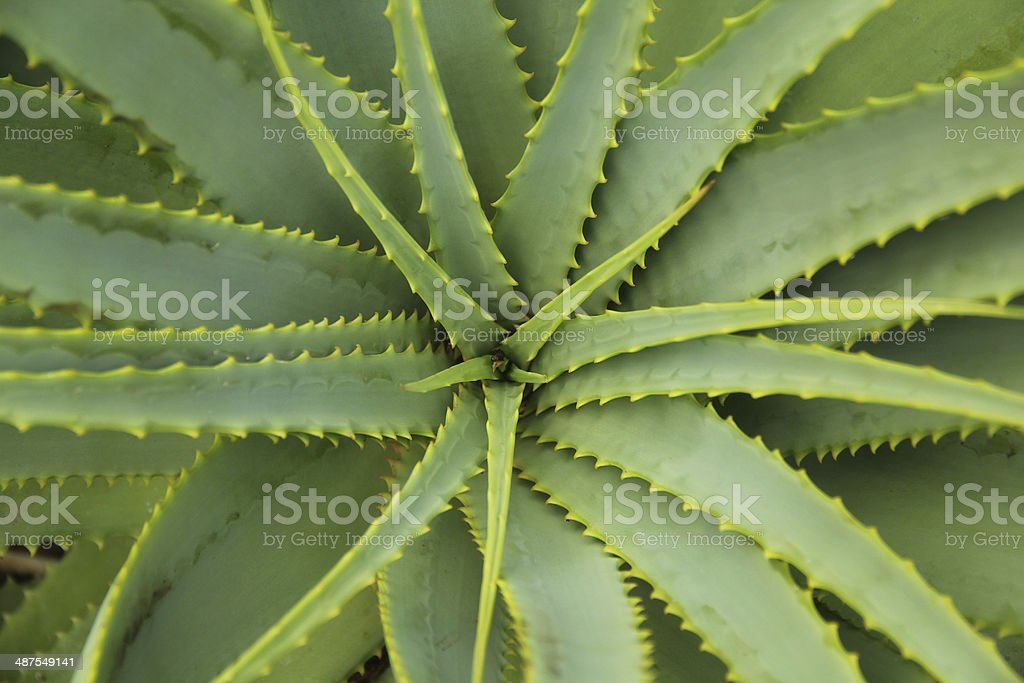 Aloe Vera - Plant cactus stock photo