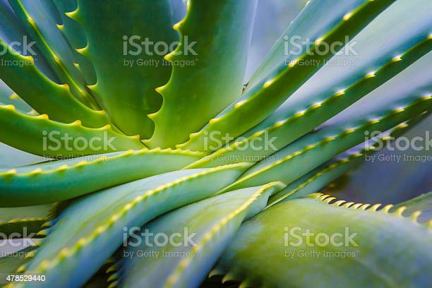 Photo of Aloe Vera Plant Close Up