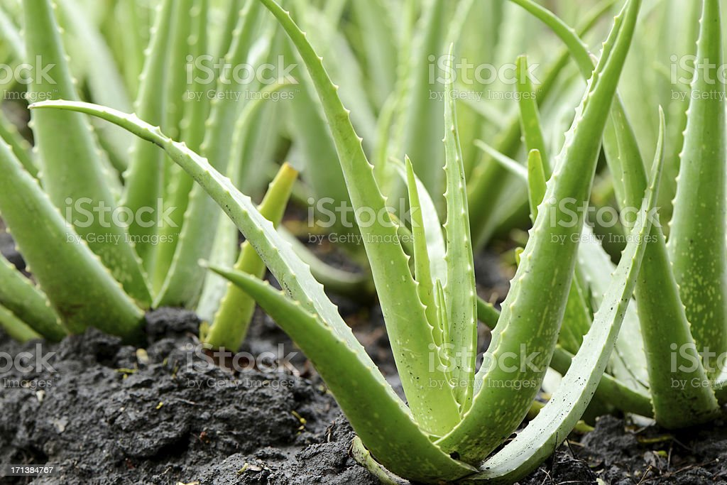 aloe vera plant growth in farm stock photo more pictures. Black Bedroom Furniture Sets. Home Design Ideas