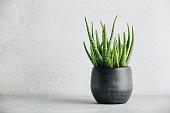Aloe vera plant in design modern pot and white wall mock up. Minimalistic stylish interior, home decor, natural skin therapy concept, copy space