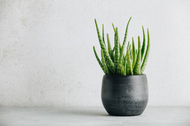 Aloe vera plant in design modern pot and white wall mock up stock photo
