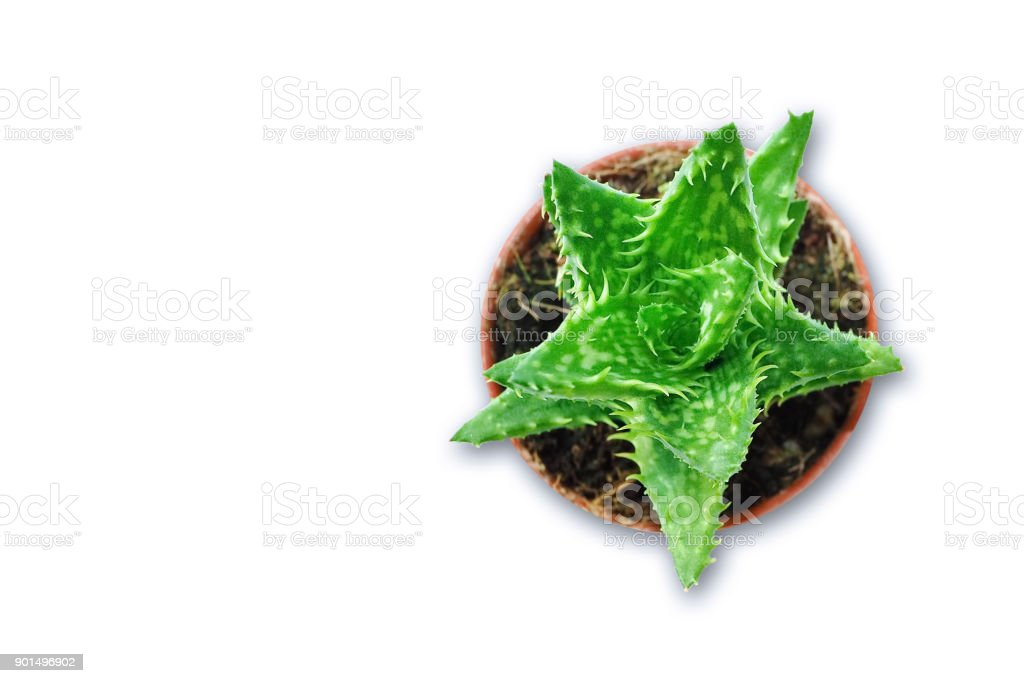 Aloe Vera (Cactus) plant isolated and soil in vase on white background. High angle of view a beautiful. stock photo