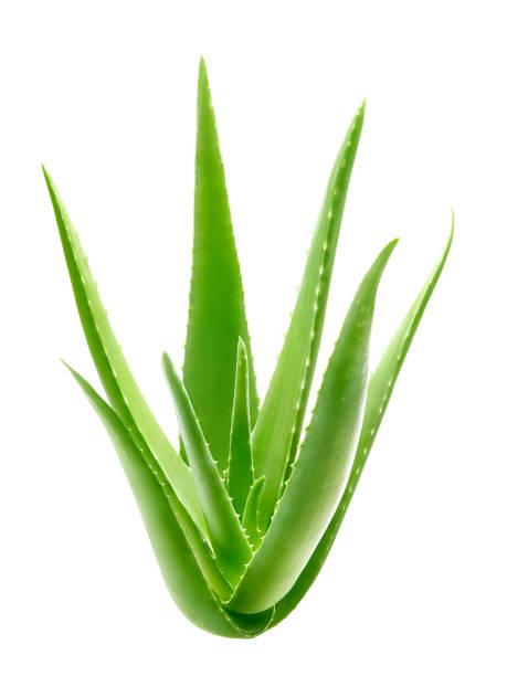 흰색 배경에 격리 된 알로에 베라 식물 - 클리핑 경로 포함 - aloe vera 뉴스 사진 이미지