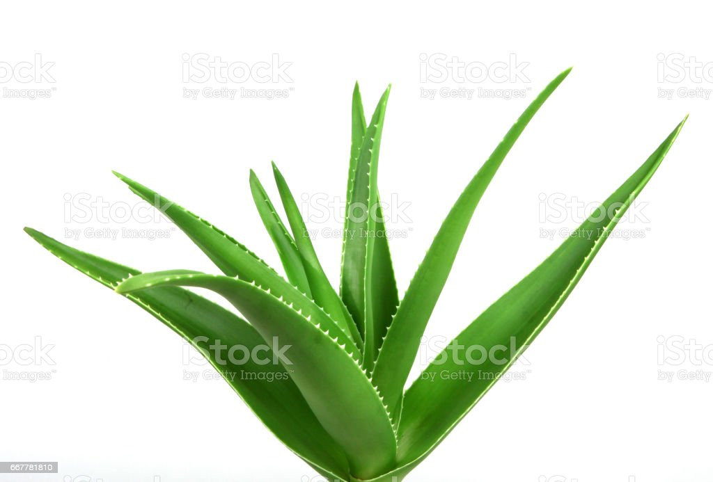 Aloe Vera Plant Isolated On white Background stock photo