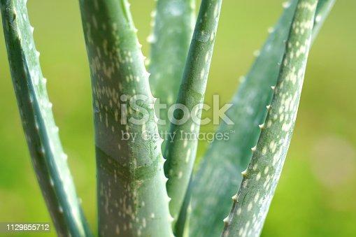 istock Aloe vera plant . 1129655712