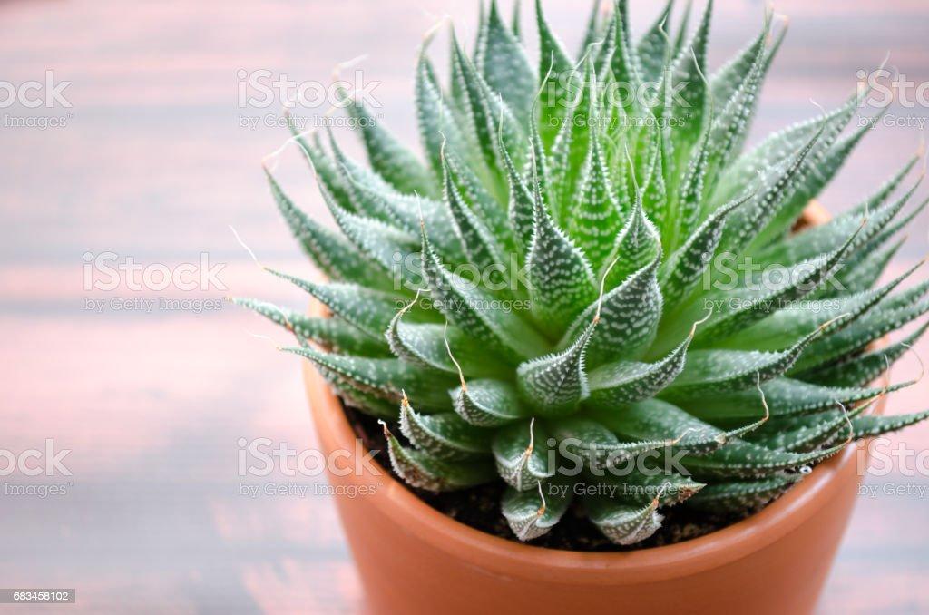 Aloe Vera Plant - foto de stock