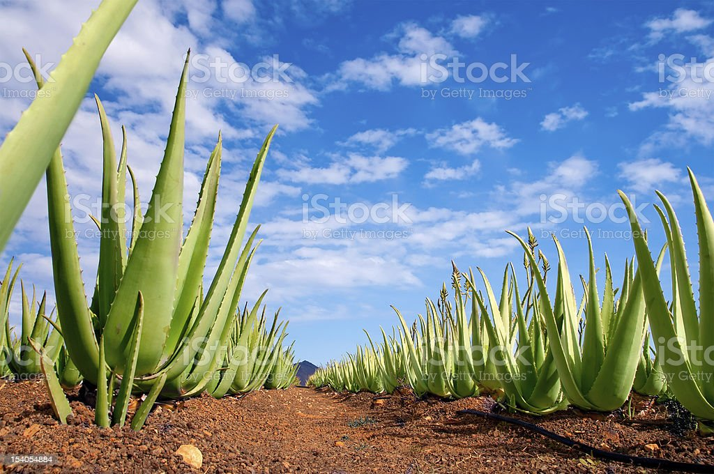 aloe vera plantation stock photo