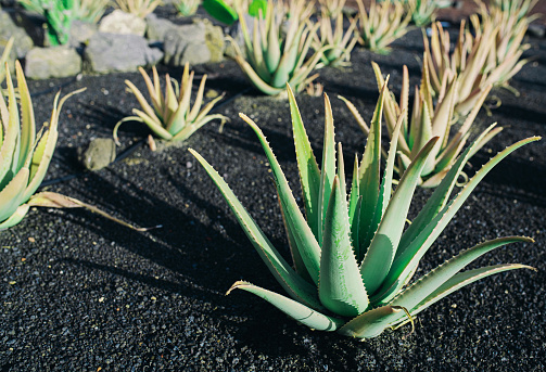 aloe vera plants in a row on dark volcanic soil