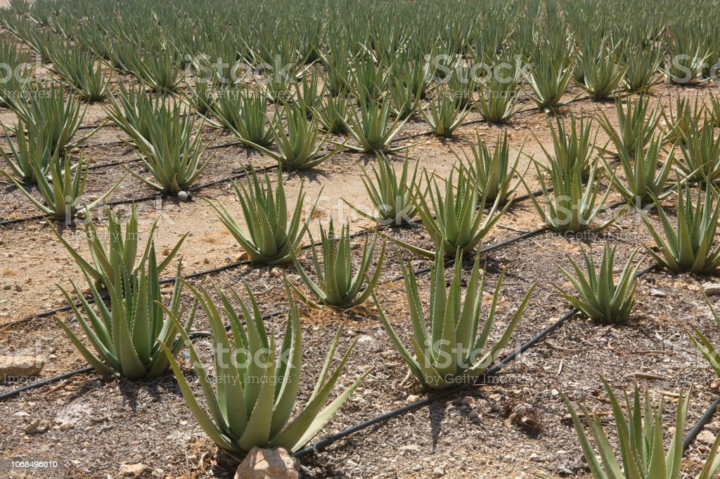 Aloe vera plants in Aruba field stock photo