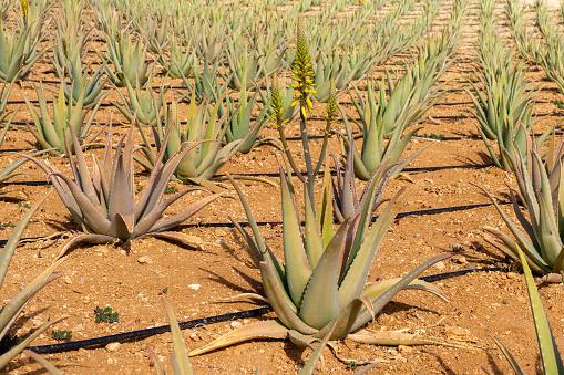 Aloe Vera plants on a farmland