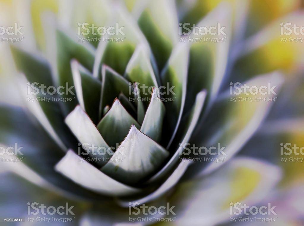 Aloe vera plants, tropical green plants tolerate hot weather. stock photo