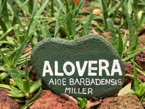 aloe vera plants with sign in a botanical garden in Sri Lanka