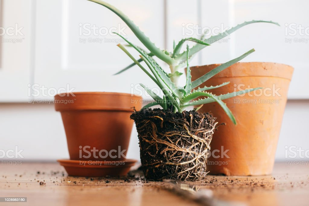 Aloe Vera With Roots In Ground Repot To Bigger Clay Pot