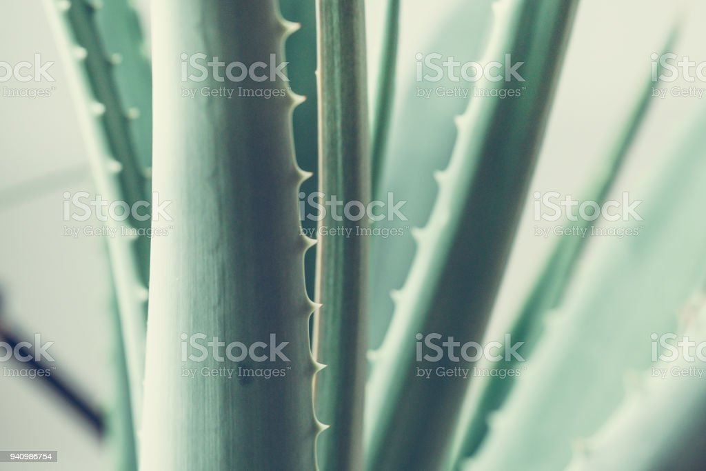 Aloes stock photo