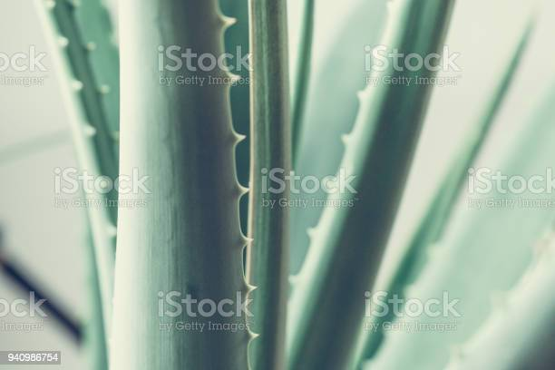 Photo of Aloes