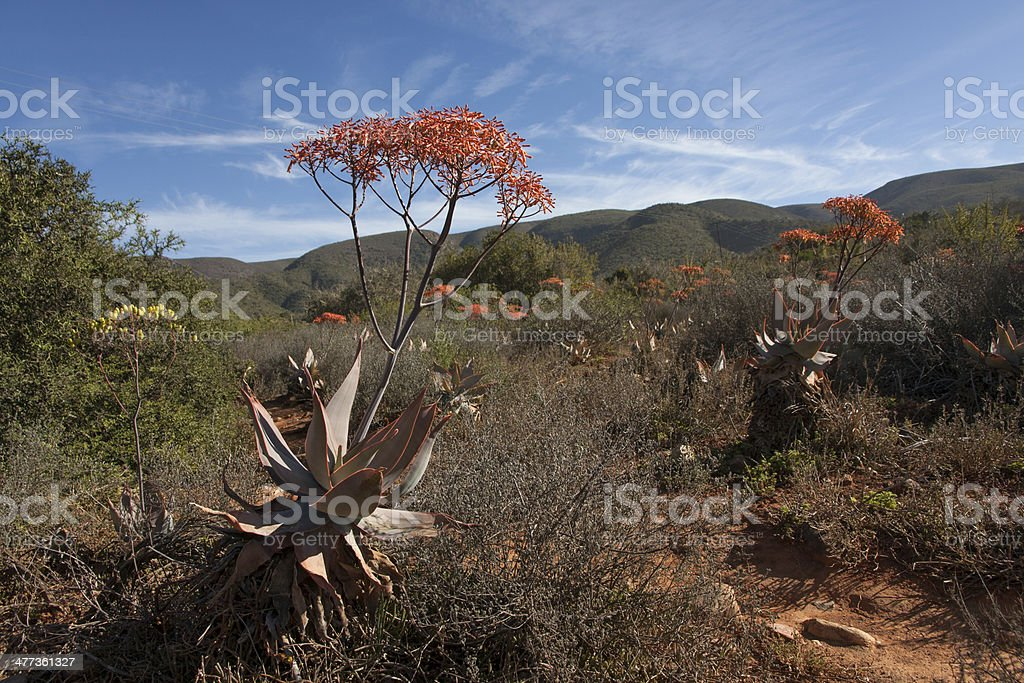 Aloes with orange flowers in Baviaanskloof South Africa stock photo
