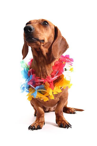 Aloha dachshund stock photo