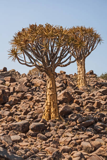 aloidendron dichotomum, the quiver tree. in soutern namibia 1 - granite rock stock photos and pictures