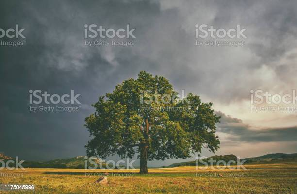 Photo of Alome oake tree in a field with stormy clouds behind