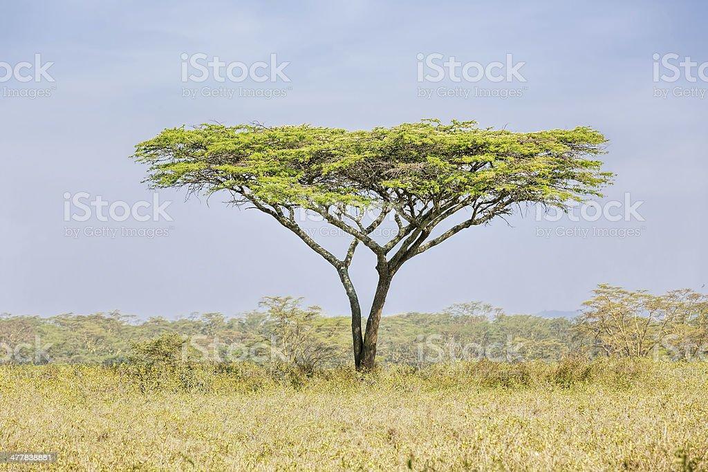 Alone Africa Acacia Tree royalty-free stock photo