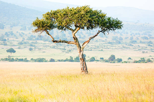 Top 30 Acacia Tree Stock Photos Pictures And Images Istock