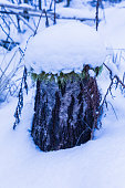 Alone beautiful tree stump with snow top in the cold winter forest among old grass and fallen branches