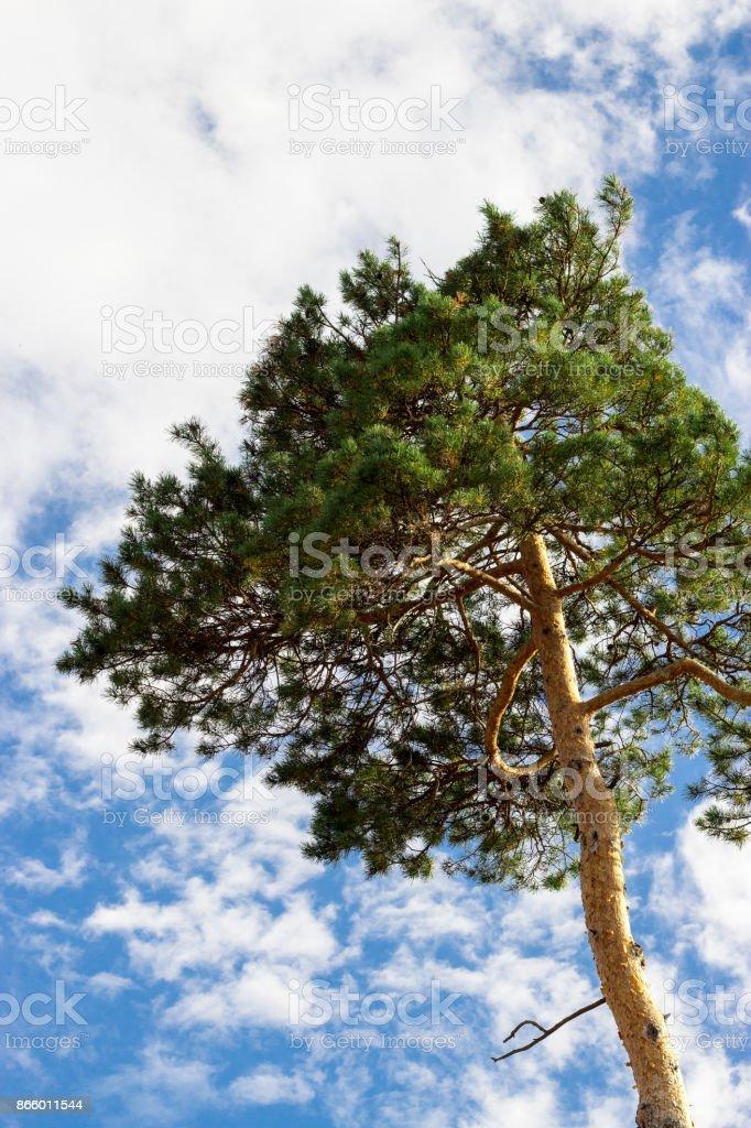 Alone Cedar tree (cedar pine) against blue sky with clouds background. Vertical. stock photo