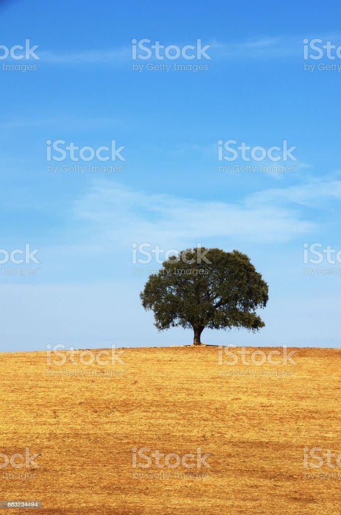 allein Laubwälder Baum, Gebiet im Süden von Portugal – Foto
