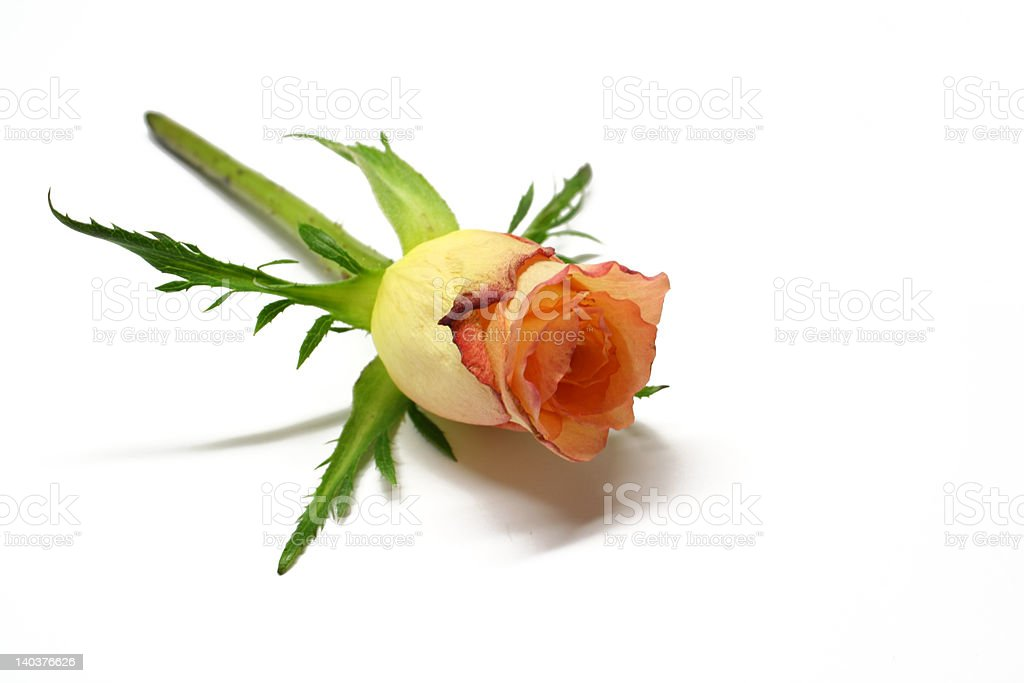 Alone Rose. Perfect Present on Valentine's Day. royalty-free stock photo