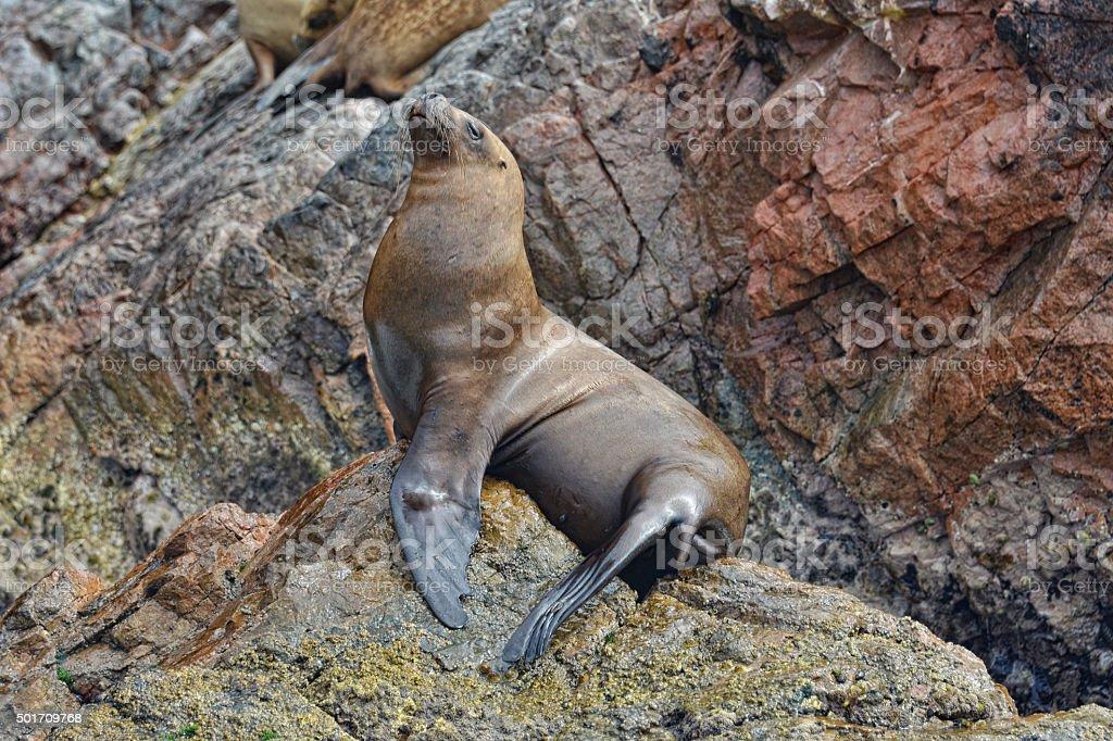 Alone sea lion on rocks of the Ballestas Islands. Peru. stock photo