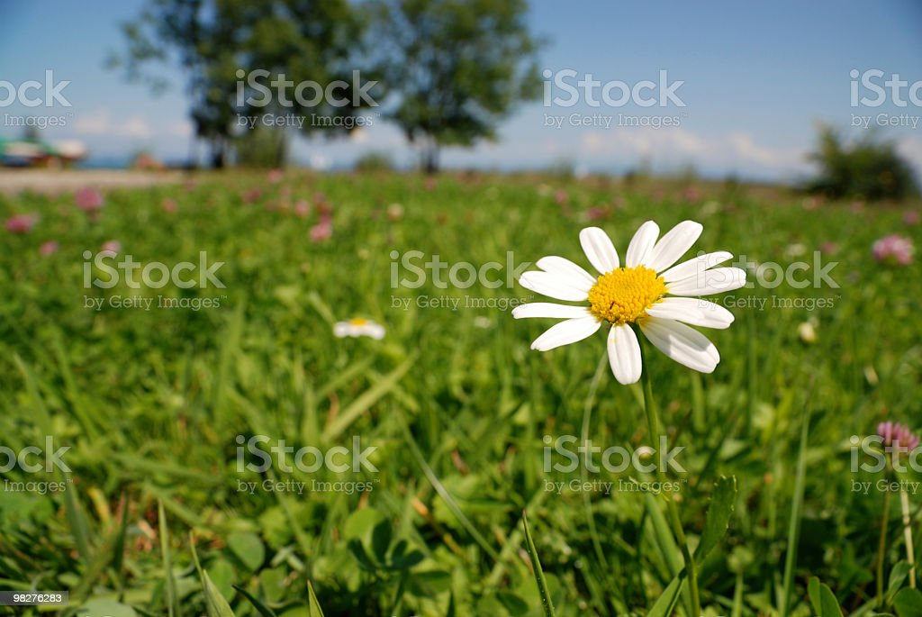 alone standing daisy on a flower meadow royalty-free stock photo
