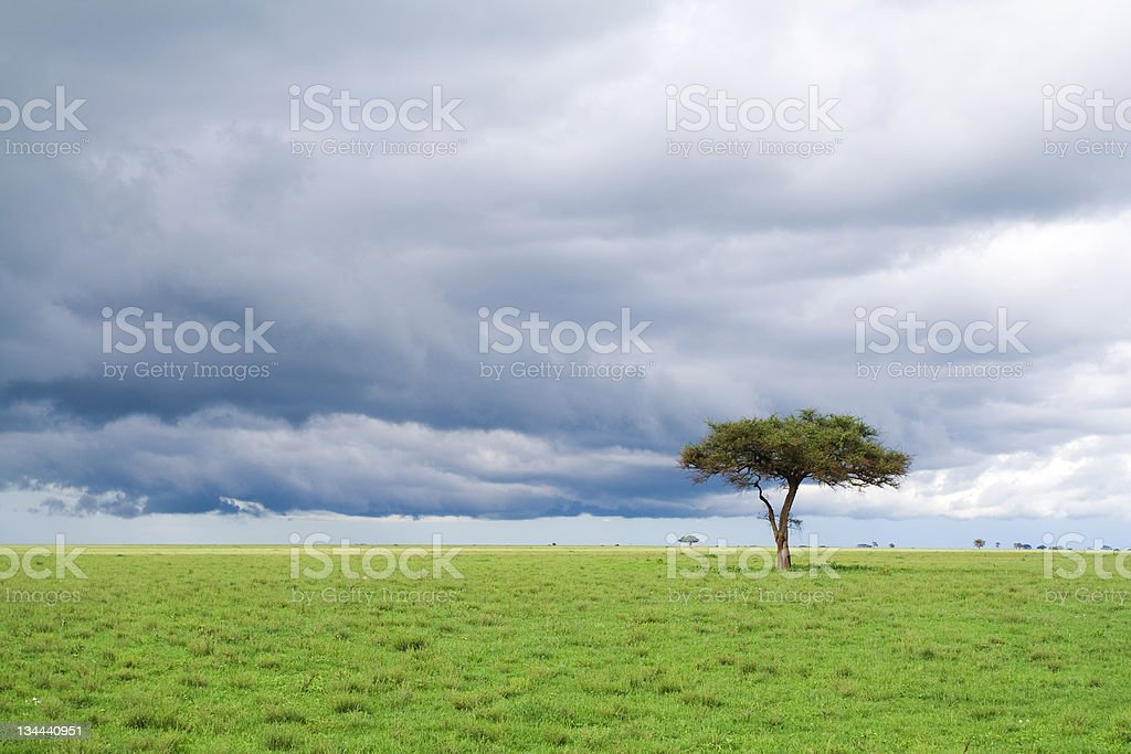 alone tree, green grassland and storm cloud in savannah royalty-free stock photo