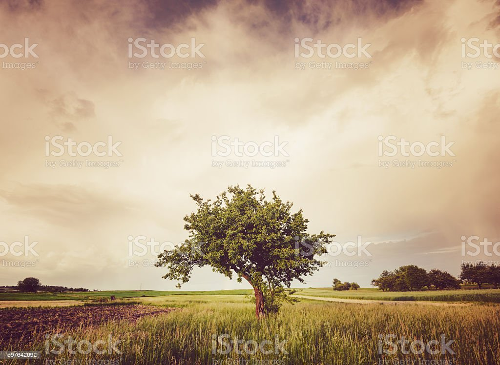 Alone tree in grass field stock photo