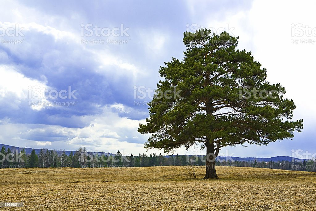 alone tree on autumn yellow field royalty-free stock photo