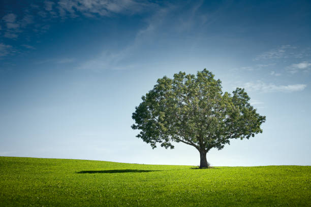 alone tree on green meadow over sky - trees stock photos and pictures