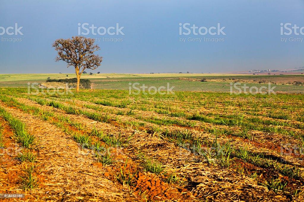 Alone tree on sugar cane plantation stock photo