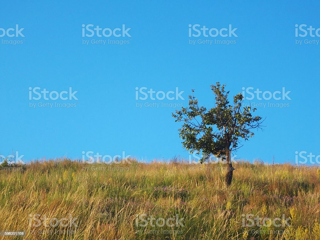 Alone tree on the field with clean blue sky royalty-free stock photo