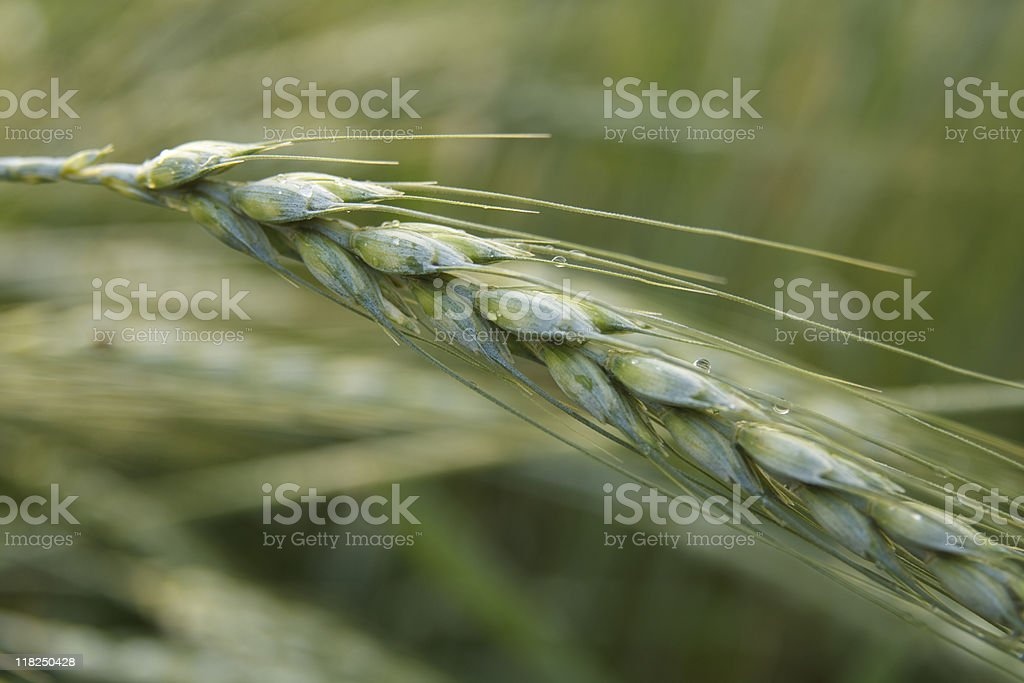 Alone Wheat royalty-free stock photo