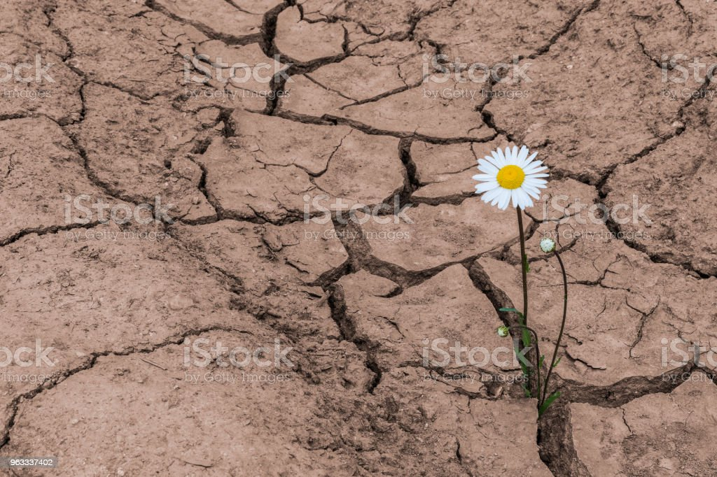 Alone white daisy in dry cracked soil. Leucanthemum vulgare. Concept of soil erosion, climate change, agricultural damage stock photo