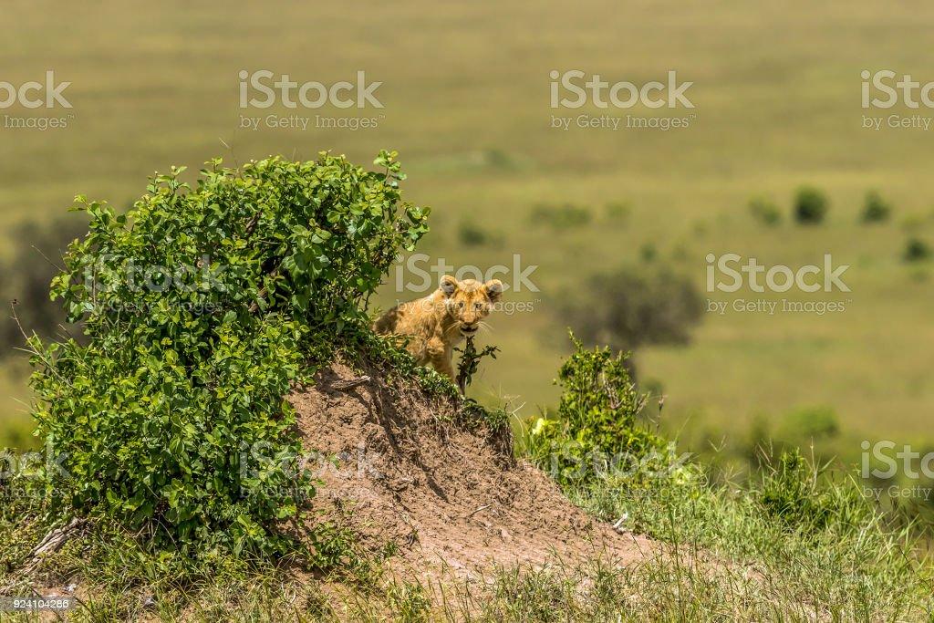 Ocultar solo de cachorro de León africano salvaje - foto de stock