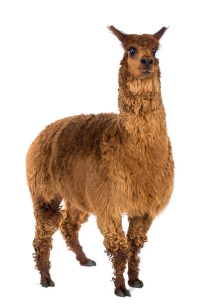 alpaka vor weißem hintergrund - lama kamelartige stock-fotos und bilder