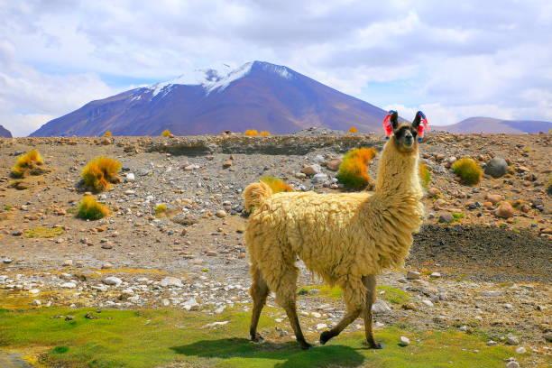 羊駝安第斯駱駝,在玻利維亞安第斯高原和田園阿塔卡馬沙漠,火山景觀全景 — — 波托西地區,玻利維亞的安第斯山脈、 智利、 bolívia 和阿根廷邊境動物野生動物 - 阿爾蒂普拉諾山脈 個照片及圖片檔