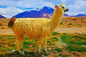 Alpaca andean llama, animal wildlife in Bolivian Andes altiplano and Idyllic Atacama Desert, Volcanic landscape panorama – Potosi region, Bolivian Andes, Chile, Bolívia and Argentina border